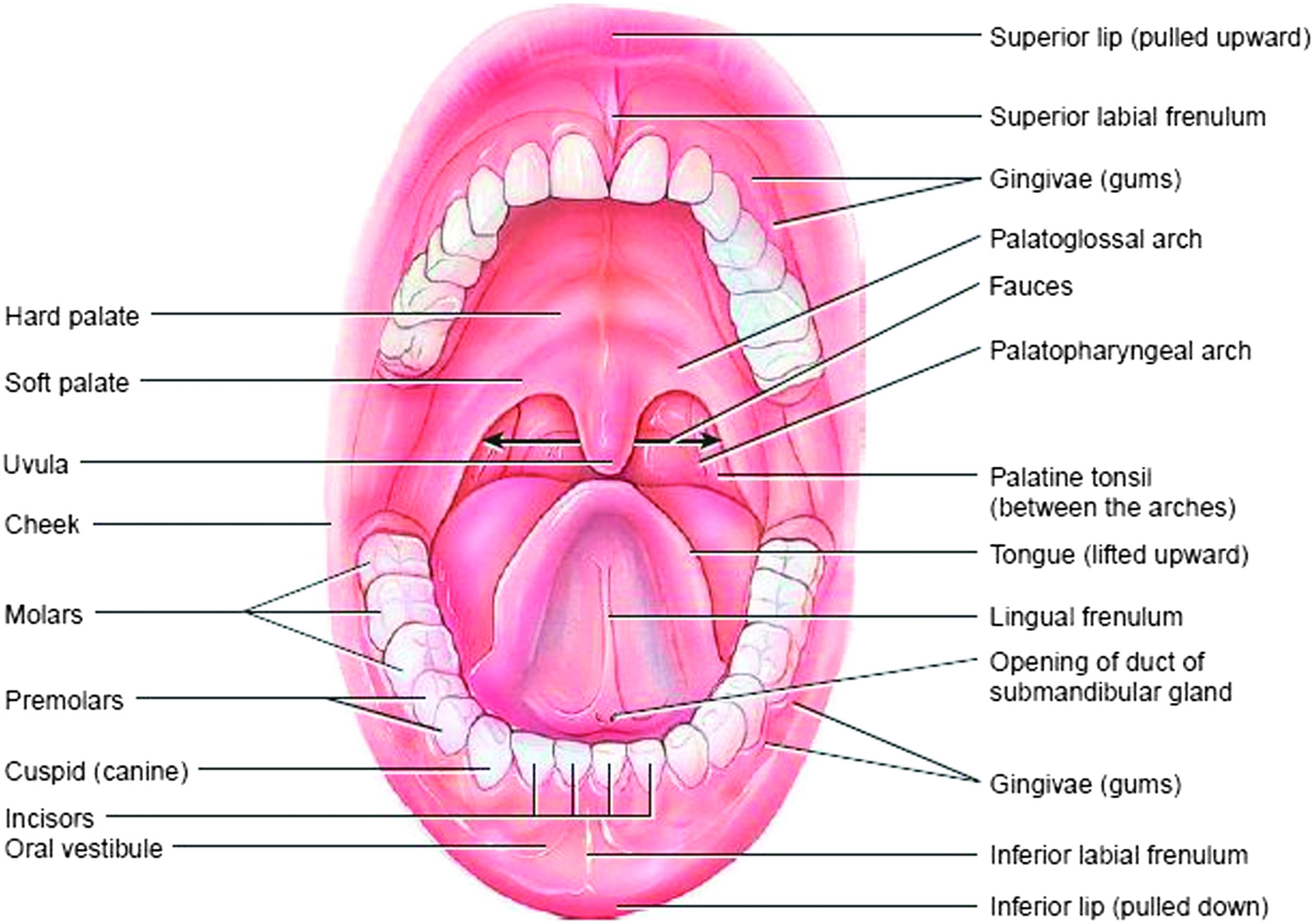 Examining The Orofacial Structures In Patients With Craniofacial