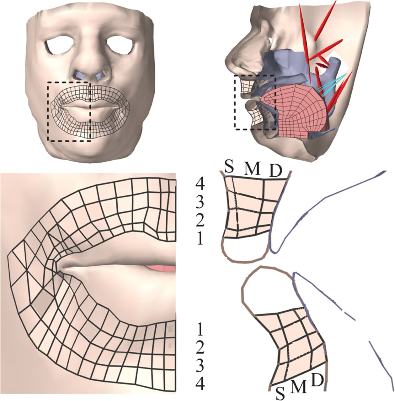 A Biomechanical Modeling Study Of The Effects Of The Orbicularis